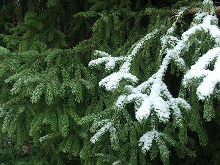 Pine, snow