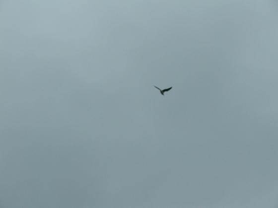 Gulls 4