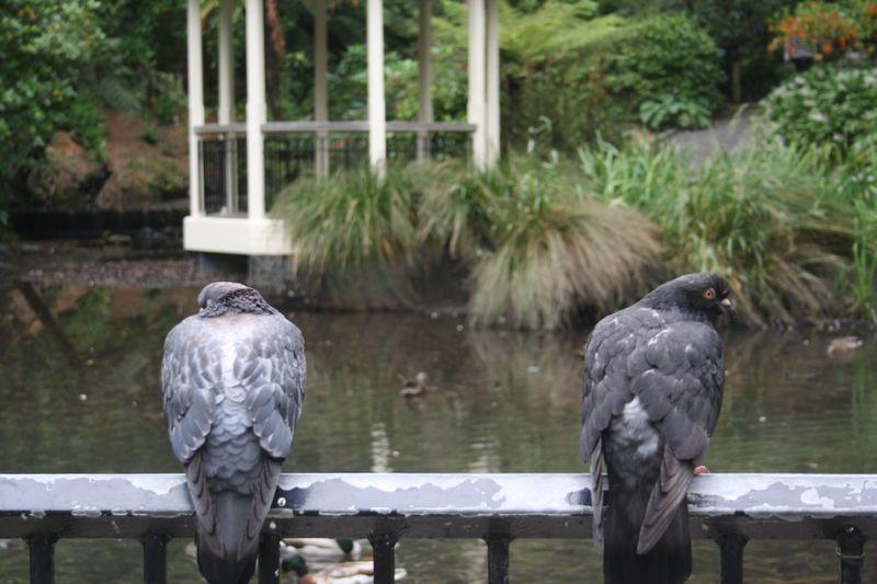 Pigeons by nikki