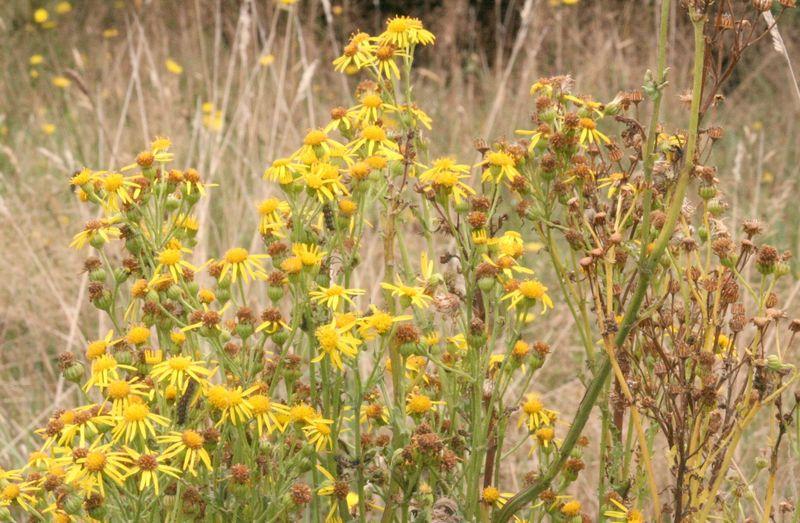 Wild daisies2