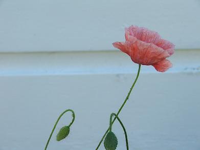Pinkpoppy